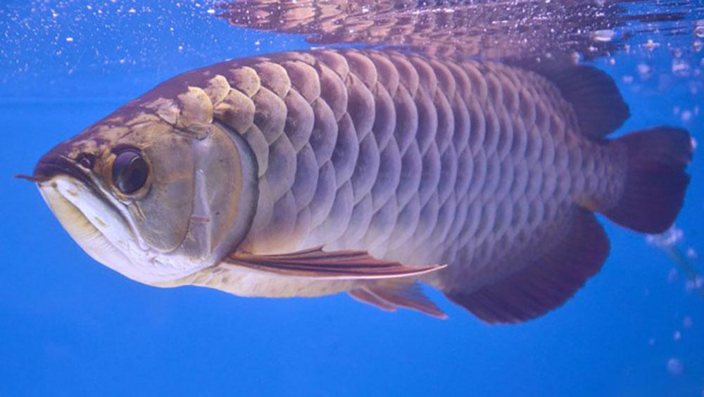 Cá rồng châu Á và chuyện ly kỳ 'báo trước hiểm họa'